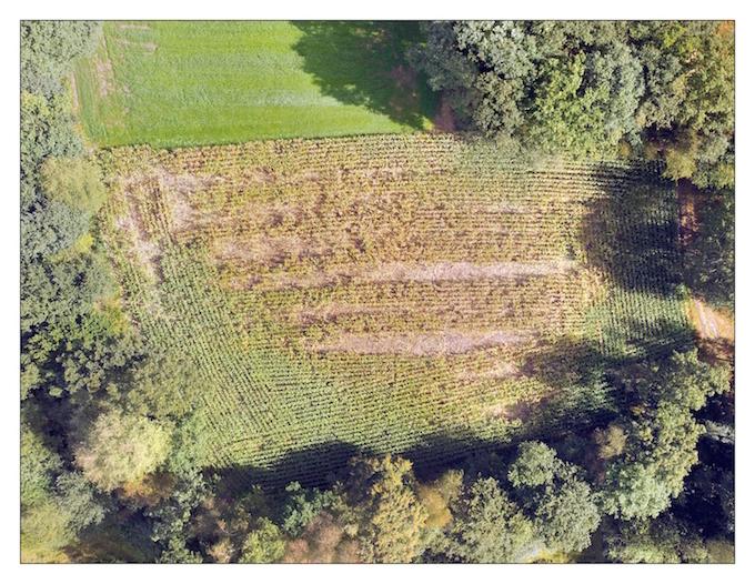 Exemple de dégâts causés par des sangliers dans un champ de maïs. © Anneleen Rutten, Université d'Anvers et INBO
