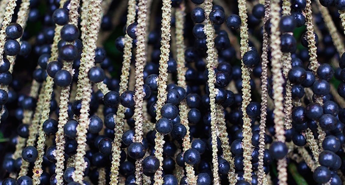 Les baies d'Açaï sont très riche en composés phénoliques antioxydants.