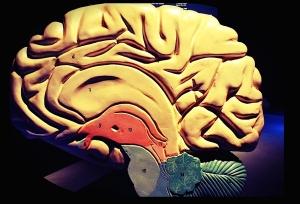 Cerveau : maquette d'un hémisphère
