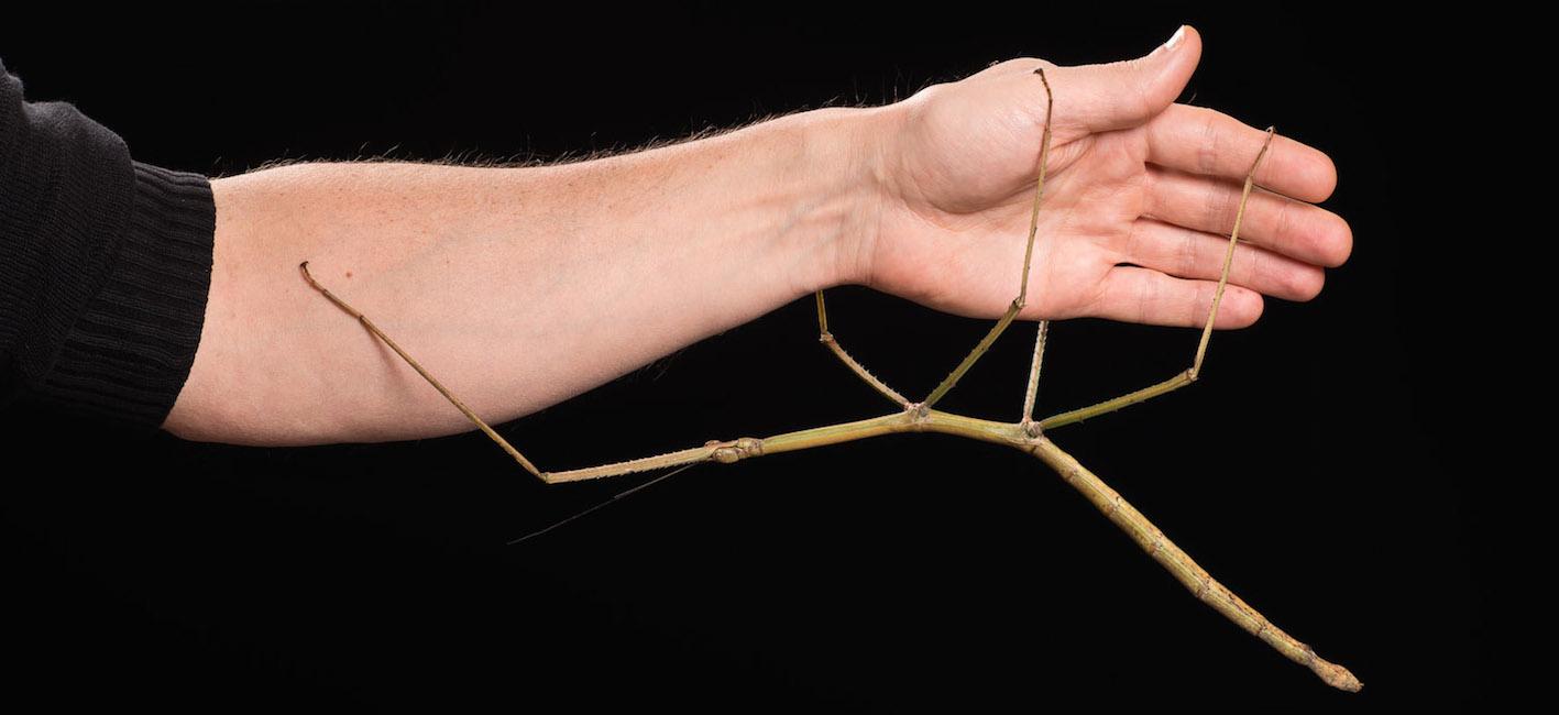 Phryganistria heusii yentuensis, le deuxième plus grand insecte du monde, suspendu au bras d'un entomologiste de l'Institut Royal des Sciences naturelles de Belgique (Photo IRSNB)
