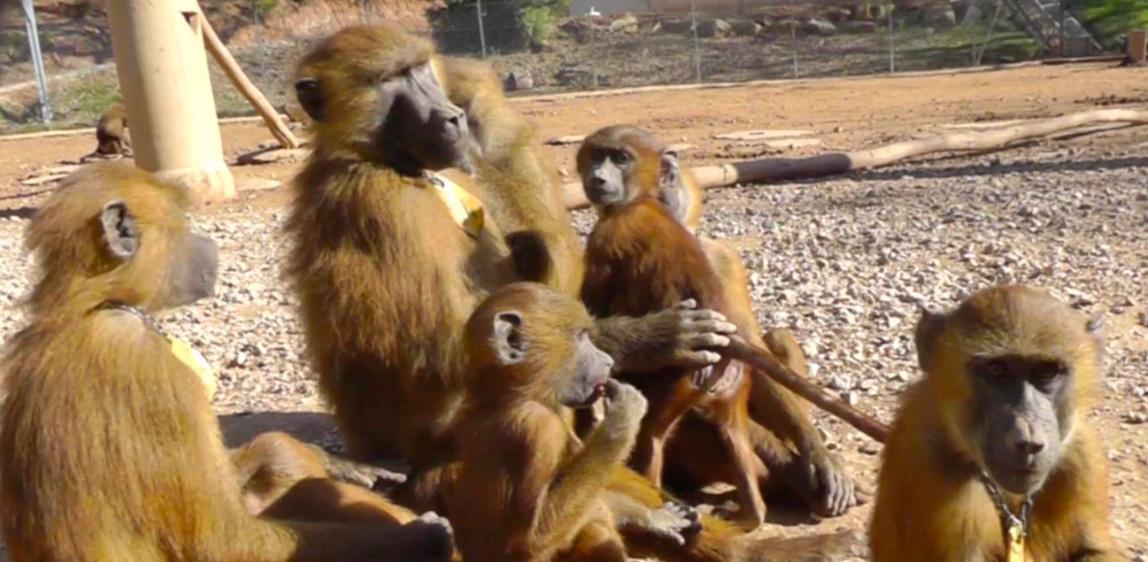 Vocalisations des babouins. © Caralyn Kemp et Julie Gullstrand, Laboratoire de psychologie cognitive CNRS/AMU.