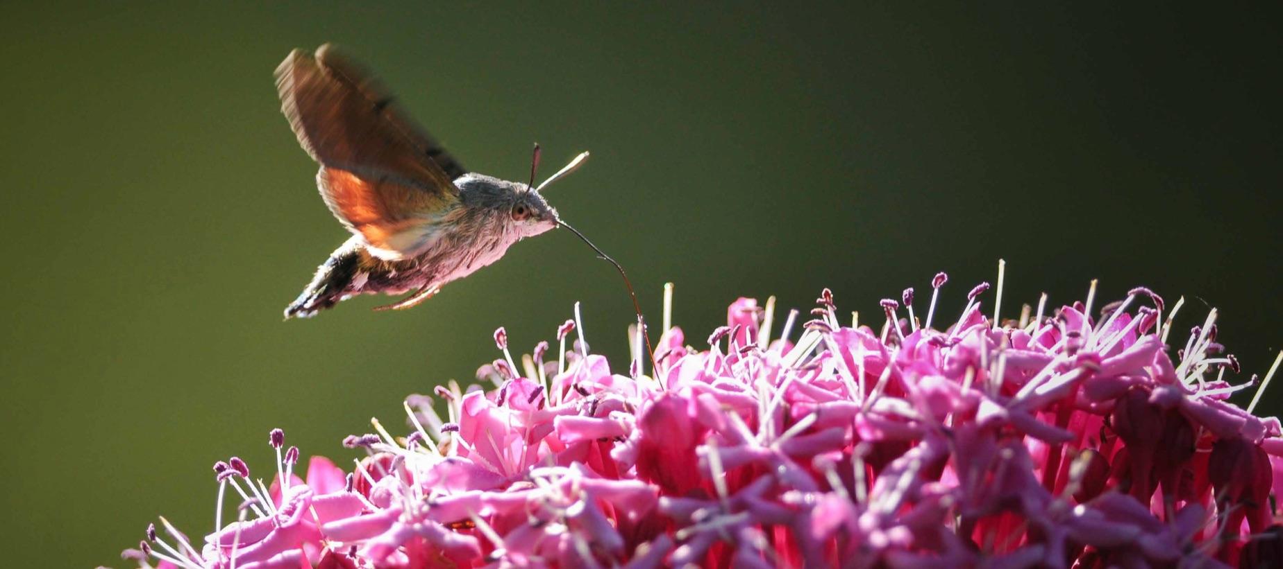 Le vol stationnaire du moro-sphinx (Macroglossum stellatarum), également appelé «sphinx colibri», permet à ce papillon de butiner sans se poser. © Philippe Dehérand
