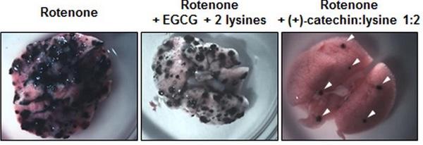 Poumons de souris cancéreuses et métastases (points noirs sur l'organe). Chez la souris traitée avec le nouveau composé testé par l'équipe du Pr Sonveaux, on remarque le nombre réduit de métastases.