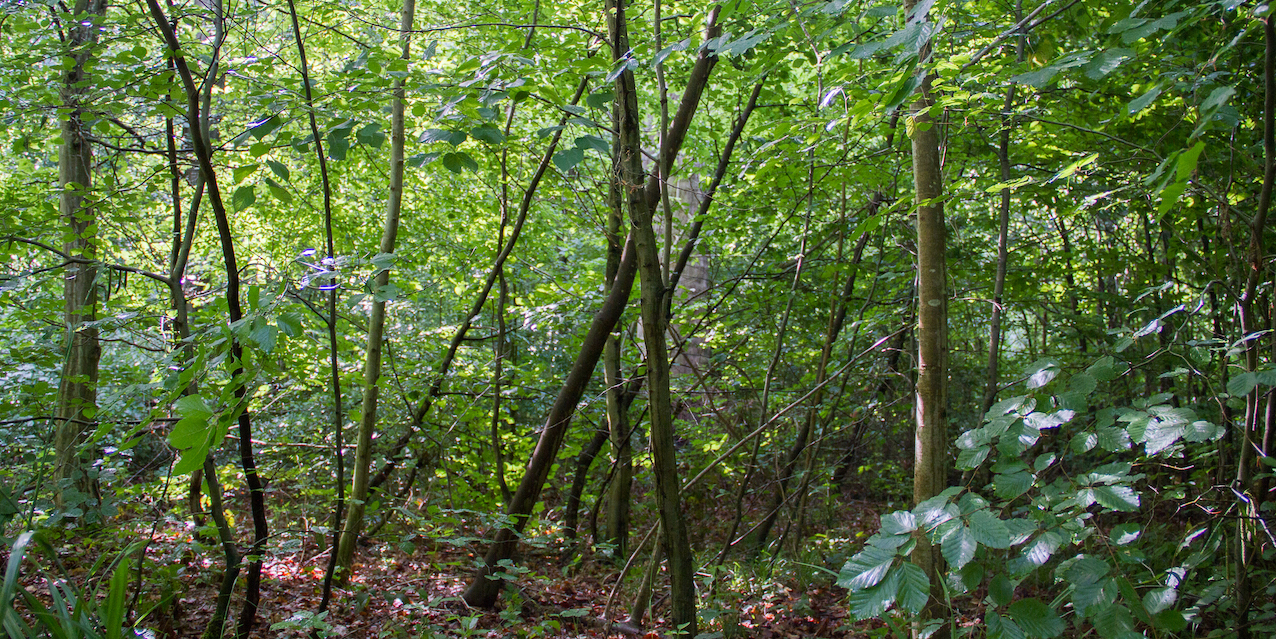 Cellule en régénération spontanée dans la forêt de Marche-les-Dames. © Laetitia Theunis
