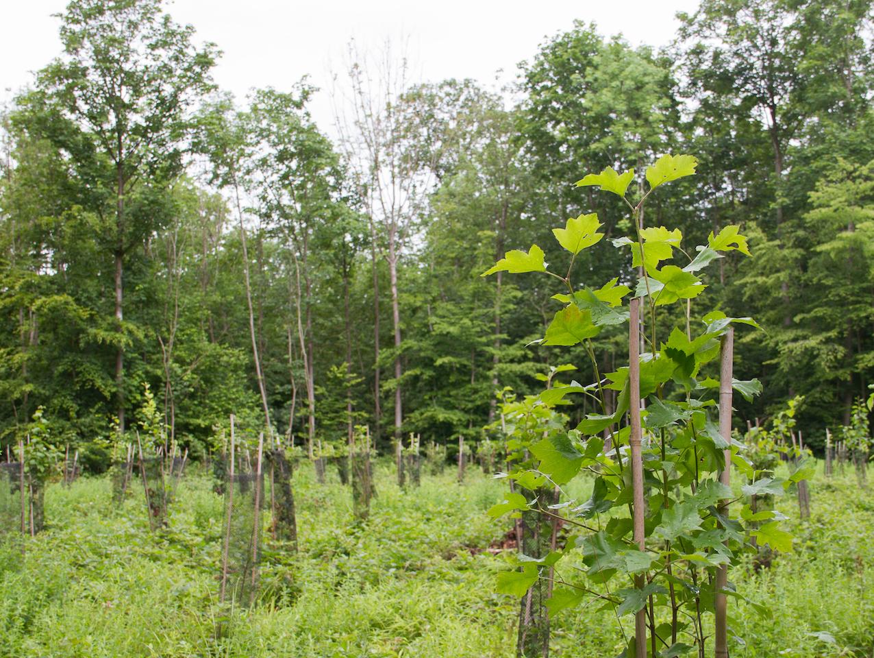 Plantation d'alisiers dans forêt de Marche-les-Dames © Laetitia Theunis
