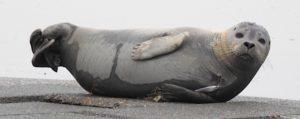 """Mars 2018, Phoque commun à Nieuport, blessé par un hameçon. © Linda Vanthournout/ rapport 2018 """"Échouages et observations de mammifères marins""""/IRSNB."""