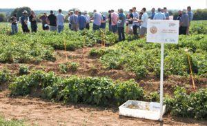 champ expérimental pommes de terre robustes