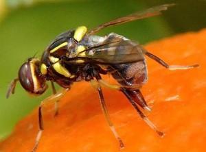 La nouvelle espèce décrite en 2005 : Bactrocera invadens. © Ana Rodriguez