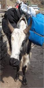 Acheminement du matériel par Yack, Népal