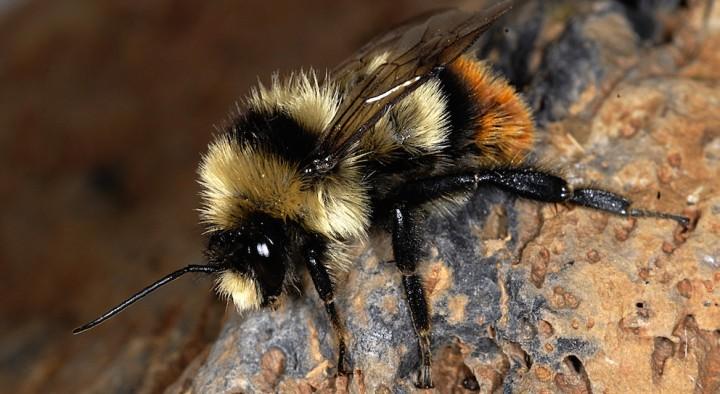 Le bourdon Bombus cullamanus est une des espèces menacées d'extinction. © Pierre Rasmont