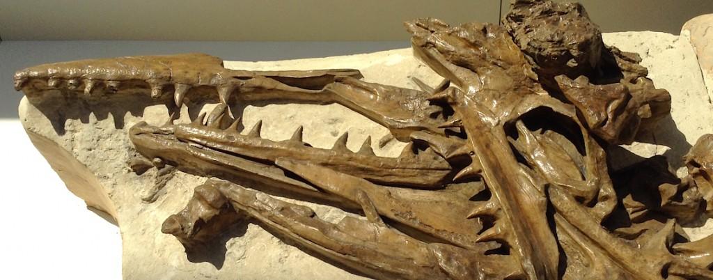 Fossile de mosasaure découvert à Ciply.