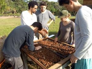 Les fèves de cacao sont disposées en mono-couche sur une des grilles du séchoir