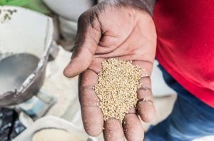 Mil - Le mil est un terme utilisé surtout en Afrique pour désigner le milet, un groupe de céréales secondaires domestiquées très cultivées dans ce continent.
