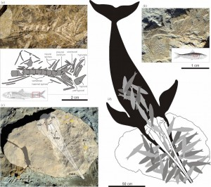 Restes fossiles de la baleine à bec éteinte Messapicetus gregarius (c) et de son dernier repas : des dizaines de sardines (a, b et d). (Photos et illustrations : G. Bianucci)  Cliquer pour agrandir