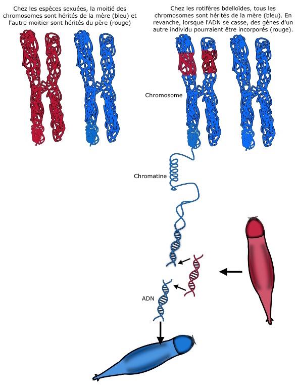 Sapphomixie chez les rotifères: un transfert de matériel génétique à la suite d'une dessiccation et du morcèlement de l'ADN. © UNamur