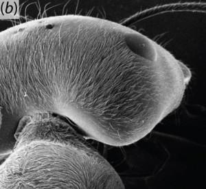 tete fourmi argentee