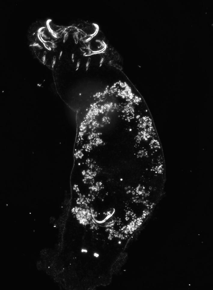 Cichlidogyrus attenboroughi