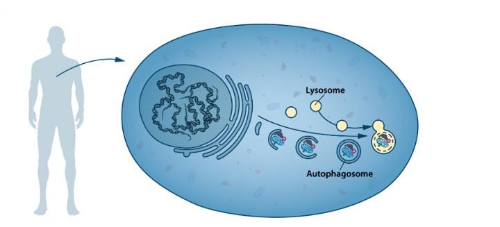 lysosome-et-autophagie