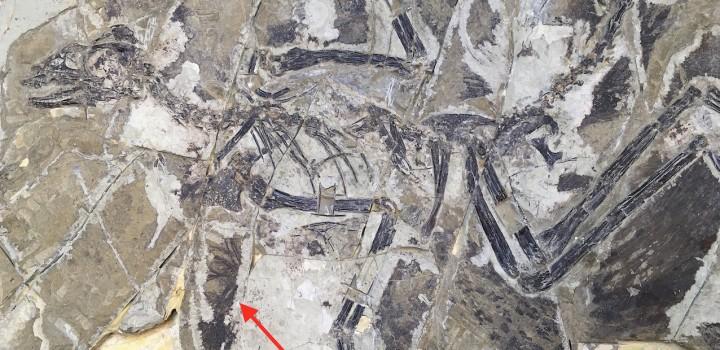 Fossile d'Anchiornis huxleyi. La flèche pointe vers quelques fines plumes.