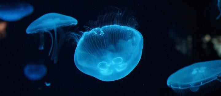 meduses en aquarium