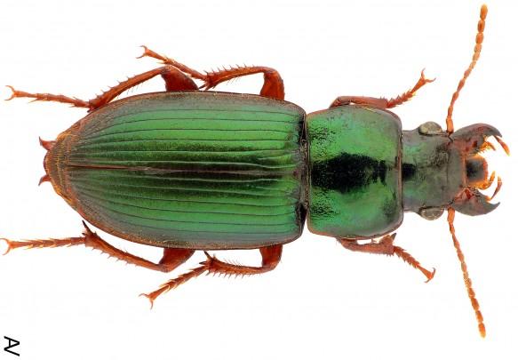 Un coléoptère (femelle) urbain typique : Harpalus affinis. L'espèce aime la chaleur et a de longues ailes.  (Photo - Andrey Vlasenko)