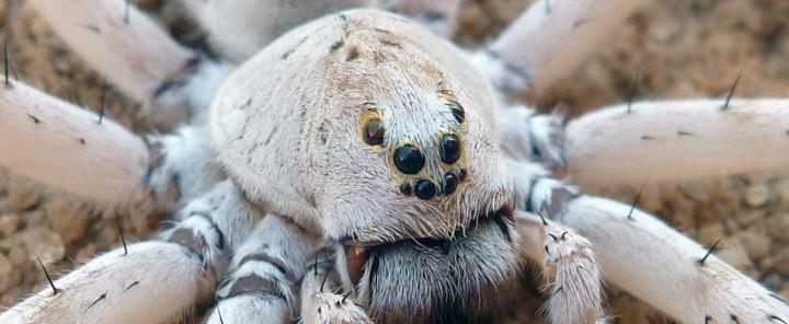 Ocyale ghost, nouvelle araignée-loup géante découverte à Madagascar.