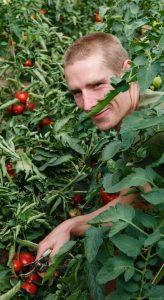 Dans la serre aux tomates des Artisans de Bossimé. © V.P.